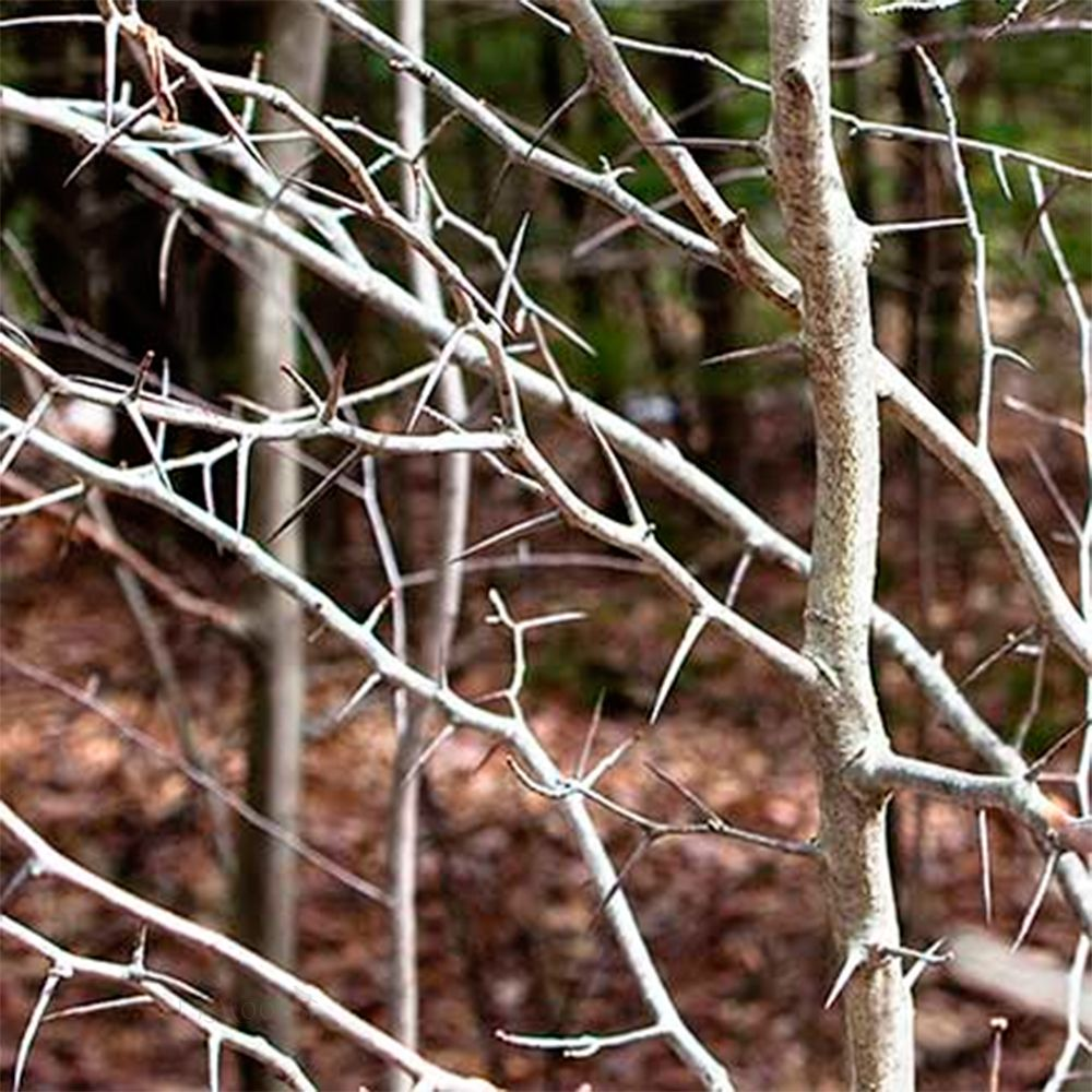 Hawthorn Thorns, 5 of