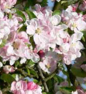 May Day Apple Blossoms
